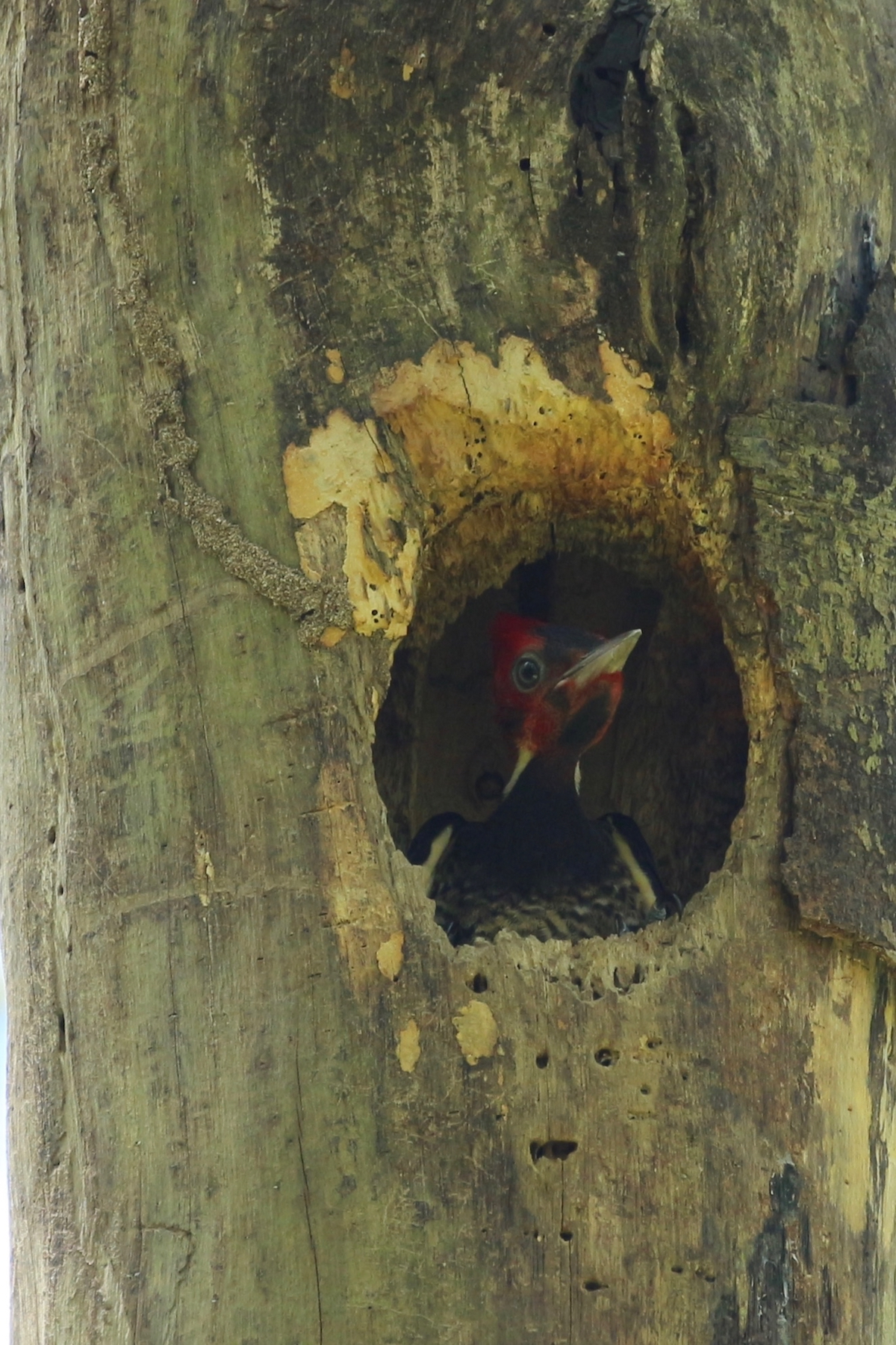 Pale-billed Woodpecker – imm
