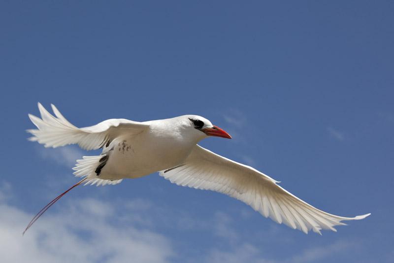 RedTailedTropicbird2_Tony-Palliser_small